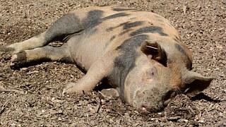 pig-1008500__180