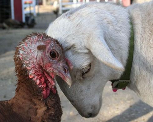 turkey-lamby-bff