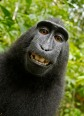 PIC BY A WILD MONKEY / DAVID SLATER / CATERS NEWS - (PICTURED: One of the photos that the monkey took with Davids camera. 1 of 2: This photo was the original photo the monkey took) - The photographer behind the famous monkey selfie picture is threatening to take legal action against Wikimedia after they refused to remove his picture because 'the monkey took it'. David Slater, from Coleford, Gloucestershire, was taking photos of macaques on the Indonesian island of Sulawesi in 2011 when the animals began to investigate his equipment. A black crested macaque appeared to be checking out its appearance in the lens and it wasn't long before it hijacked the camera and began snapping away. SEE CATERS COPY.