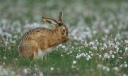 hare pasture grass