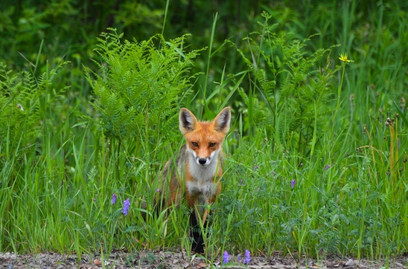 Fox bluebells bracken hiding