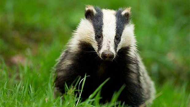 badger face green grass