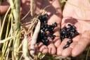soya beans pods hands