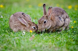 Mother rabbit baby rabbit bunnies grass nuzzling