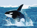 orca leaping jumping sea icebergs ice splash