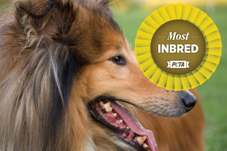 Rough-Collie-Inbred-Crufts-770x513