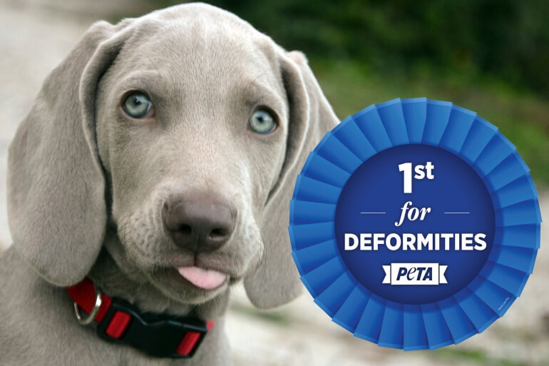Weimarener-Crufts-Deformed-770x513