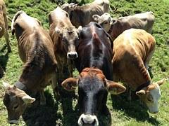 cattle cows vegan farm animals