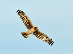 hen harrier in flight bird of prey wings