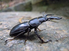 stag beetle black shiny horns