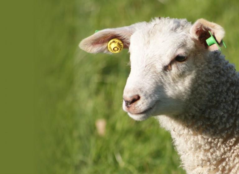 Sheep head wool eurogroup for animals eurobarometer 2016