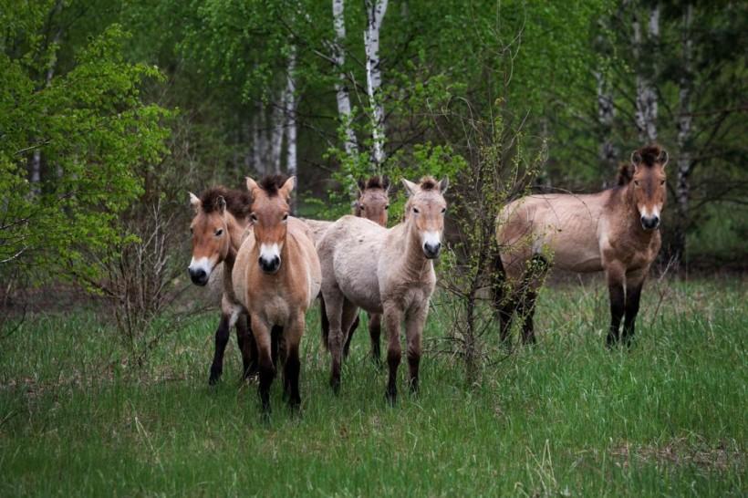 Rare breed Przewalski horse wild