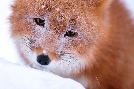 Fox foxes Ivan Kislev Russian miner Arctic snow ice