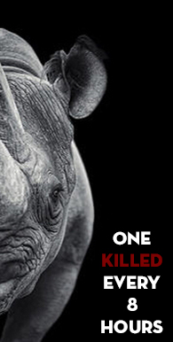 Rhino horn One killed every 8 hours