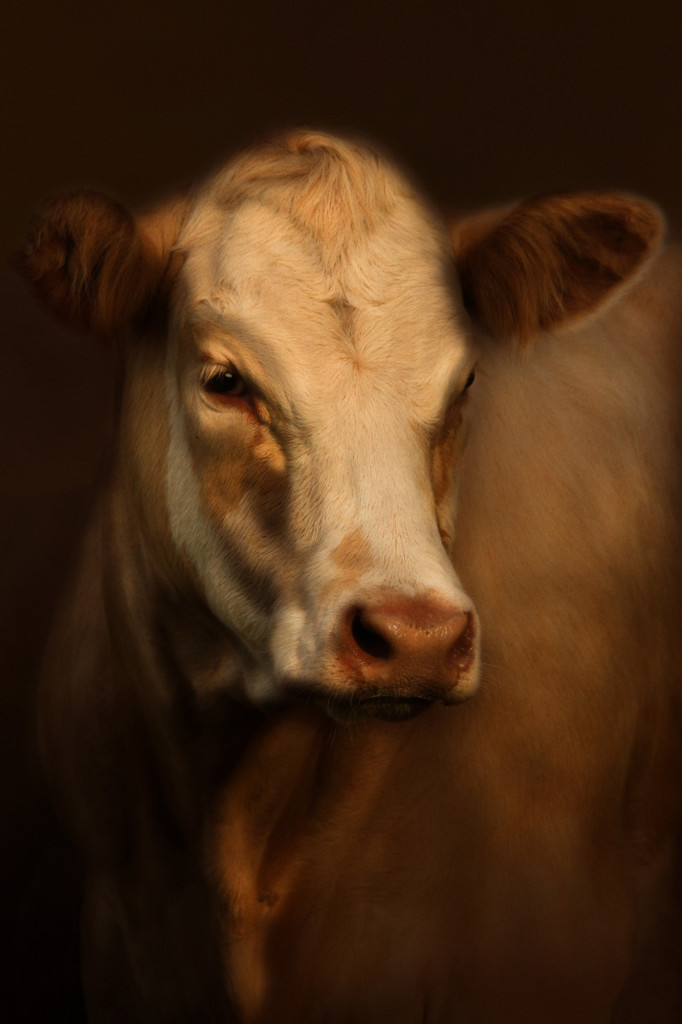 Murray grey cattle Cally Whitham photo rembrandt epitaph