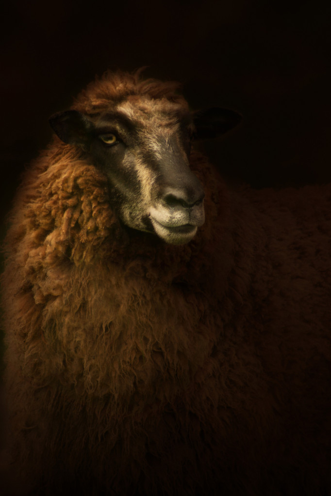 tawny crossbreed ewe sheep call whitham epitaph photo rembrandt