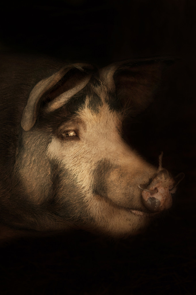 Wessex crossbreed pig Cally Whitham epitaph photo rembrandt