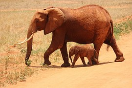 elephant mother calf baby african animals tusk ivory kenya genetic forensics laboratory