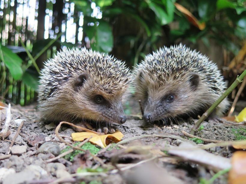 hedgehogs mate pair garden wildlife male female prickles