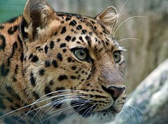 amur leopard big cat endangered rare head