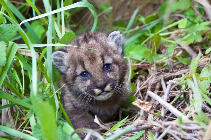 mountain-lion-kitten.jpg.990x0_q80_crop-smart