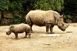 rhino calf baby mother endangered animal horn