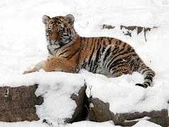 Amur tiger cub snow wildlife big cat