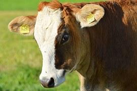 cow cultured meat beef stem cells burger laboratory petri dish