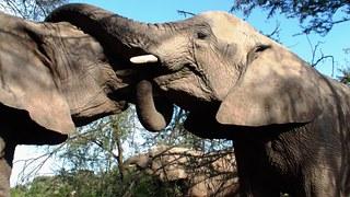 elephants mate tusks poaching genetic sequencing forensics lab wildlife crime Kenya