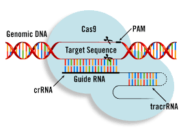 Gene-editing CRISPR Cas9 génome DNA double helix