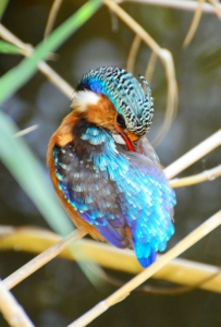 malachite kingfisher matthew clayton africa