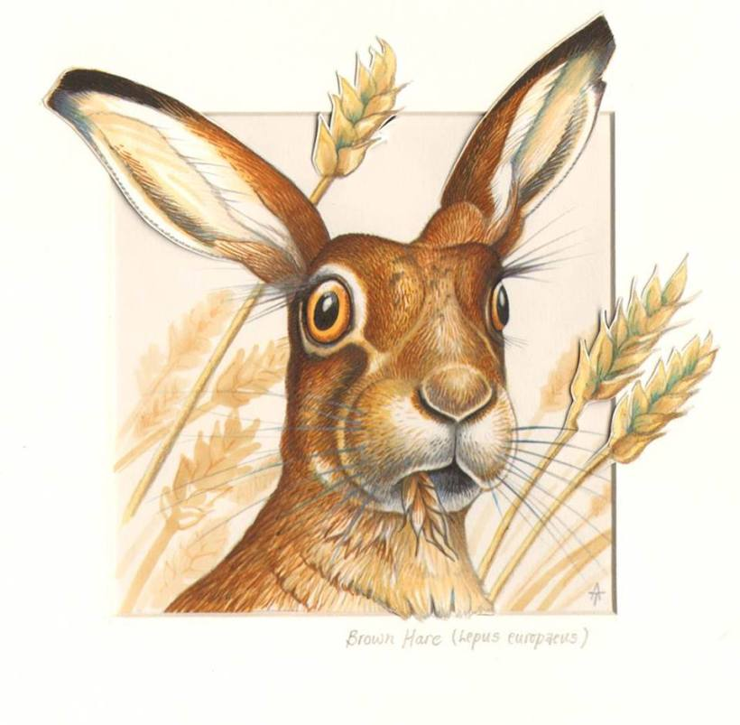 brown hare lepus europaeus andrew tilsley artwork ink on paper wildlife herbivore vegan