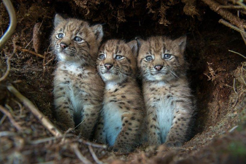 Laurent Geslin eurasian lynx cubs jura mountains switzerland big cats