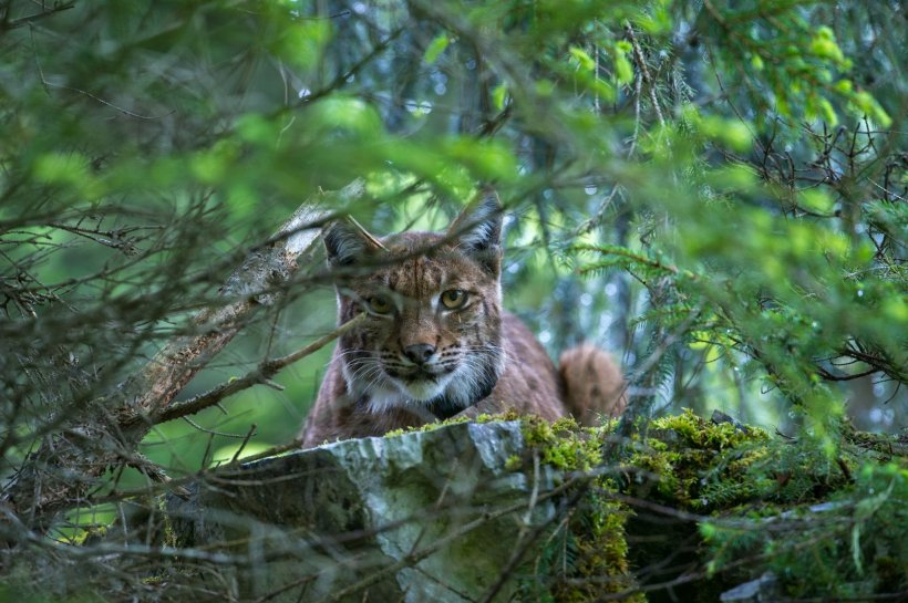 Laurent Geslin eurasian lynx big cat jura mountains switzerland wildlife