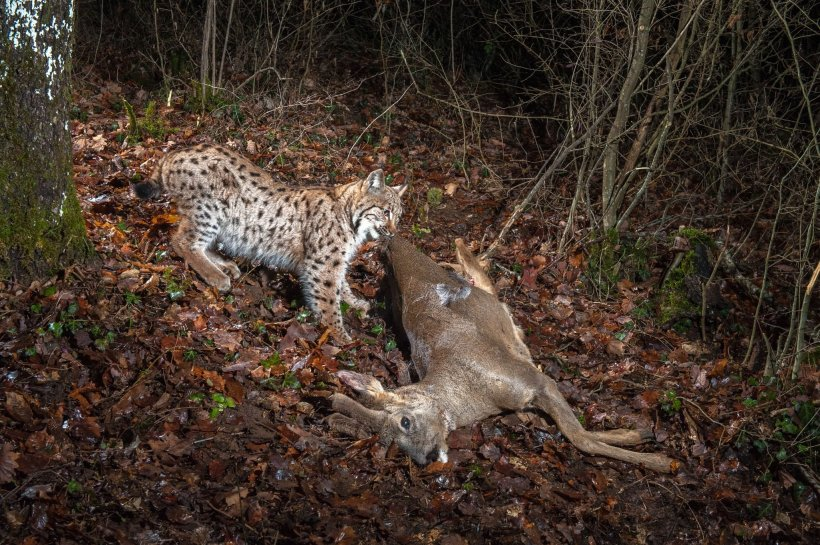 Laurent Geslin eurasian lynx predator prey deer big cat jura mountains switzerland