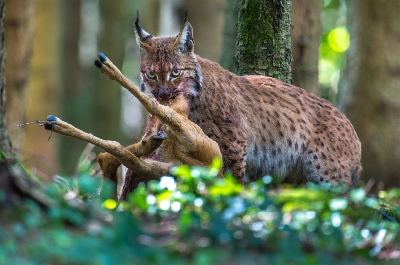 Laurent Geslin Eurasian lynx big cat predator prey deer Jura mountains Switzerland wildlife nature