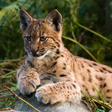 lynx uk big cat reintroduction sheep farmers ecology forests predator