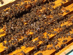 bees-486869__180