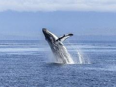 sperm whale humpback caring altruism marine mammal