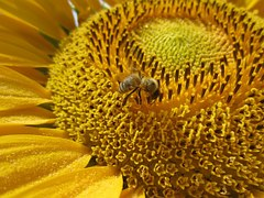 sun-flower-216356__180-1