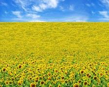 sunflower-1468892__180
