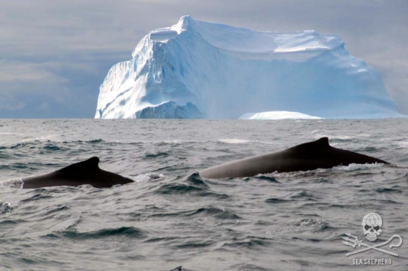 300x200xnews-160830-1-3-antarctic-two-whales-img_0285-1000w-jpg-pagespeed-ic-xtrw0jhrc