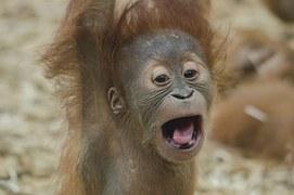baby-orangutan-1056338__180