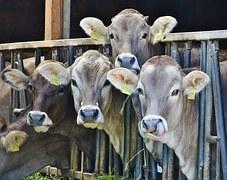 cows-1532909__180
