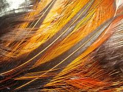 copper bronze orange feathers hen chicken poultry farm animal bird