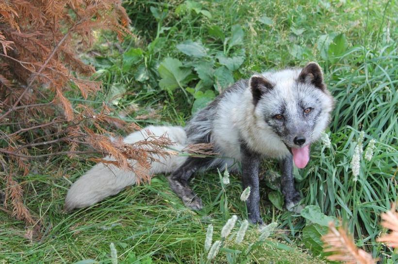fox-1682729_960_720