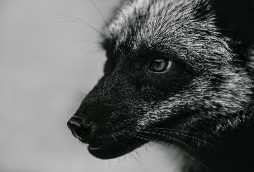 fox-3431561_960_720