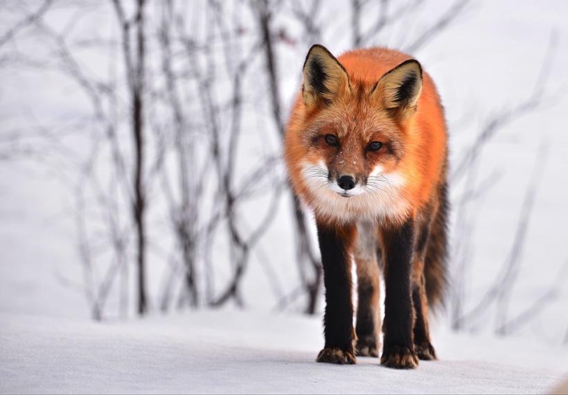 Red fox Vulpes vulpes snow winter fur wild animal wildlife