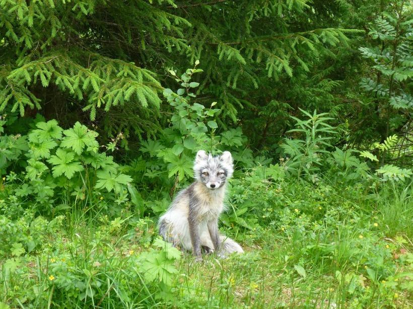 prince edward island silver fox