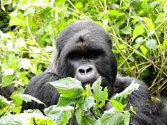 gorilla-718275__180